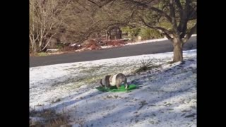 Adventurous dog goes sledding - Video