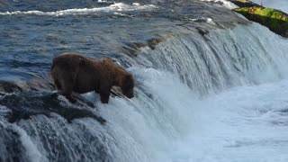 Grizzly Bear Fishing in River - Video