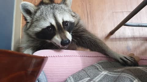 Pet raccoon adorably begs owner for treats