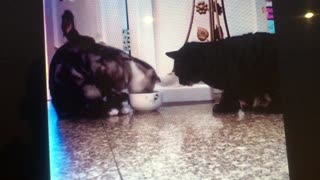 Cat sharing the food