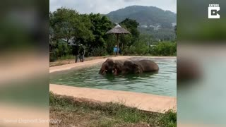Elephants Dubbed 'inseparable Best Friends' Enjoy Adorable Drink Together In Swimming Pool