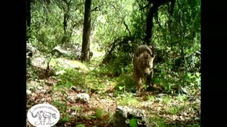 New video captures only known wild jaguar in the U.S. - Video