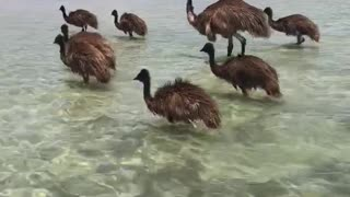 Emu Family Goes for a Swim at Monkey Mia