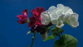 Flowers Blooming Timelapse - Nature