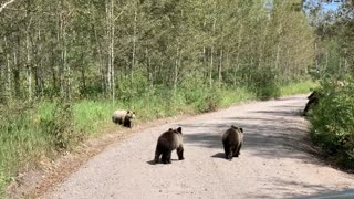 Grizzly Bear 399 and Her Four Cubs