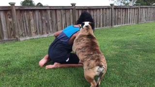 Bulldog Doesn't Appreciate Owner Wearing Gorilla Mask  - Video