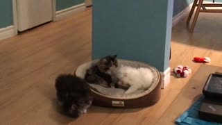 Persian Kittens cleaning each other - Video