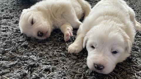 Our New Great Pyrenees