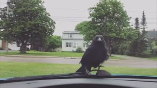 Crow Would Rather Drive Than Fly - Video