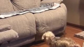 Watch this dog hilariously fail to jump on the couch
