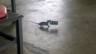 Rat Carrying Off a Coffee Can