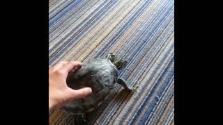 Dancing turtle loves to be pet like a dog