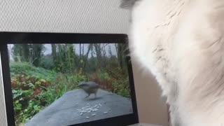 Cat tries to catch bird on laptop - Video