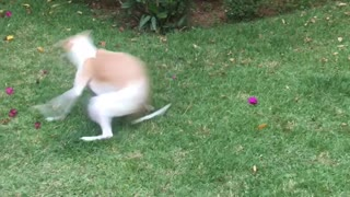 Happy Pup Makes Perfect Zoomies Despite Not Being Able To See - Video
