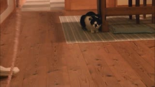 Cat sometimes fails to catch the string and keeps up appearances. - Video