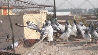 Different species of pigeons  - Video