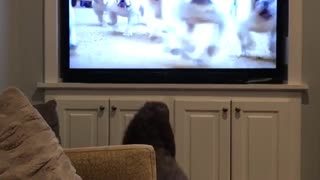 Brown curly haired dog barks at other dogs on tv