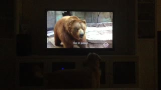 Loyal Retriever wants to protect Baxter from the Bear on Anchorman! - Video