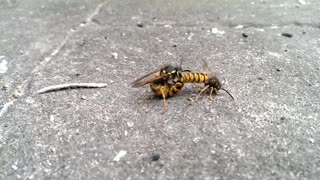 Two wasps going at it like rabbits!