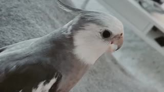 Cockatiel plays the most flawless game of peekaboo ever