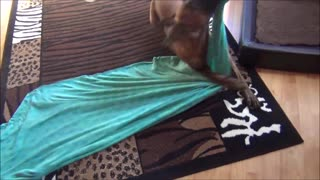 Dog trick- cover oneself up