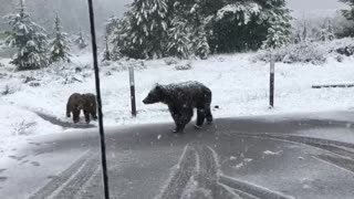 Bear Wanders by With Her Cubs