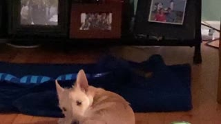 Dog Catches Tail or Tail Catches Dog