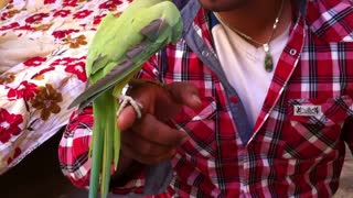Pakistan Green Neck Parrot Dance with Owner Funny Video