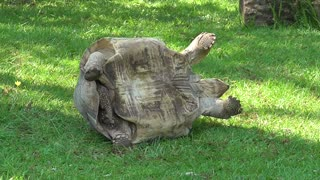 Tortoise Gets Saved By A Zoo Visitor - Video