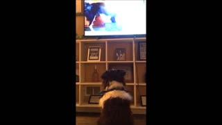 Border Collie Loves Watching Other Dogs On TV