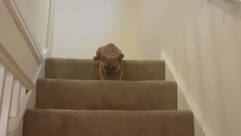 Lazy french bulldog refuses to walk downstairs