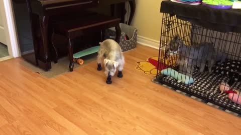 Confused pup has a hard time trying on new shoes
