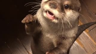 How Adorable Otter Look Like When He Was The Cutest Pet - Video