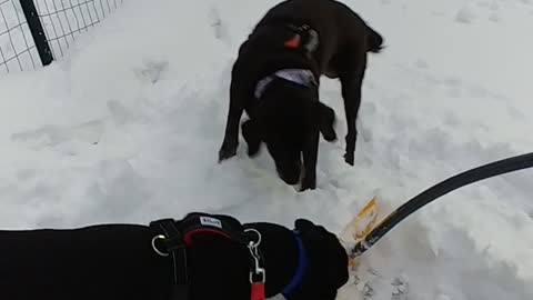 "Dog Teaches Puppy How To ""Help"" Shovel The Snow"
