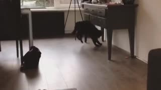 Black cat chasing marble on ground - Video