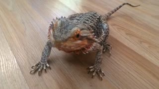 Bearded Dragon Goes Absolutely Gaga For Blueberries - Video