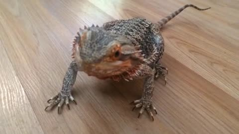 Bearded Dragon Goes Absolutely Gaga For Blueberries