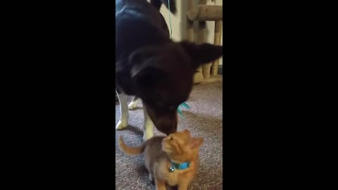 Kitten teaches dog how to play with a cat toy