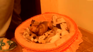 Chihuahua Puppy Growls - Video