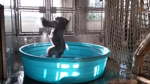Gorilla Youngster Has The Time Of Her Life Splashing In Pool