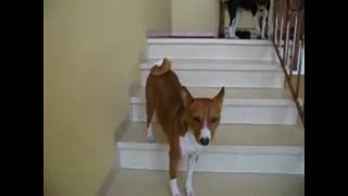 Weirdo dog walks up stairs backwards - Video