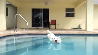 Eager Westie puppy reveals perfect diving form - Video