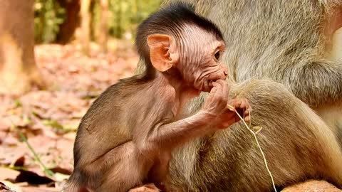 so cute baby monkey with mother and they come for finding food