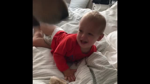 Golden Retriever Pins And Tickles A Toddler - Video