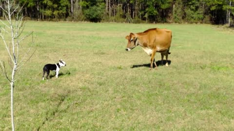 Boston Terrier Comes Face To Face With A Cow... Hilarity Ensues.