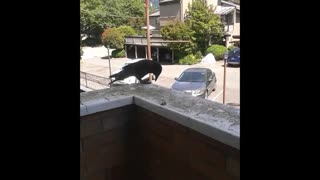Crow saying hello - Video