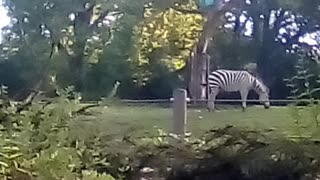 Zebra eating grass.  - Video