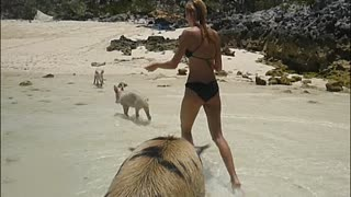 Greedy Pig Steals Bread At The Beach - Video