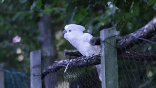 Dancing White Cockatoo Perched On A Fence