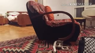 Funny kitten predator! - Video